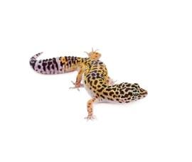 Пятнистый леопардовый эублефар - Eublepharis macularius