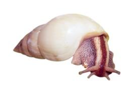 Улитка-лимиколярия - Limicolaria unicolor