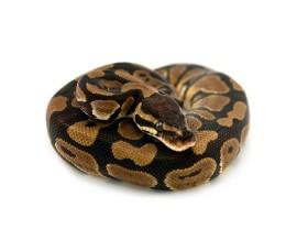 Королевский питон - Python regius