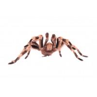 Бразильский чёрно-белый паук - Nhandu Coloratovillosus (female) - арт.: SE-161