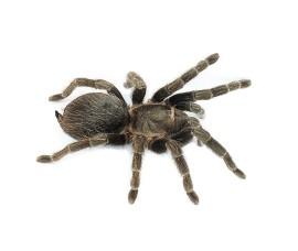Лошадиный паук - Lasiodora parahybana