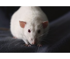 Крысы кормовые (крупные) - арт.: VO-11