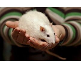 Крысы кормовые (очень крупные) - арт.: VO-12