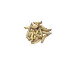 Огнёвка пчелиная - большая восковая моль (Galleria mellonella) - 100 шт./уп.