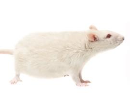 Крысы кормовые (очень крупные) - арт.: VO-22
