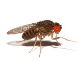 Муха не летающая - Дрозофила хидея (Drosophila hydei)