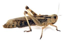 Саранча перелетная - Locusta migratoria