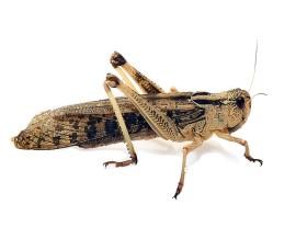 Саранча перелетная (Locusta migratoria) - арт.: IP-39